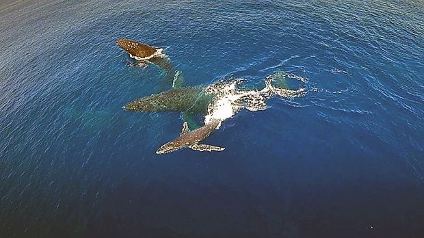 A British diver used a flying drone to capture incredible footage of humpback   whales and their calves swimming off the coast of Tonga