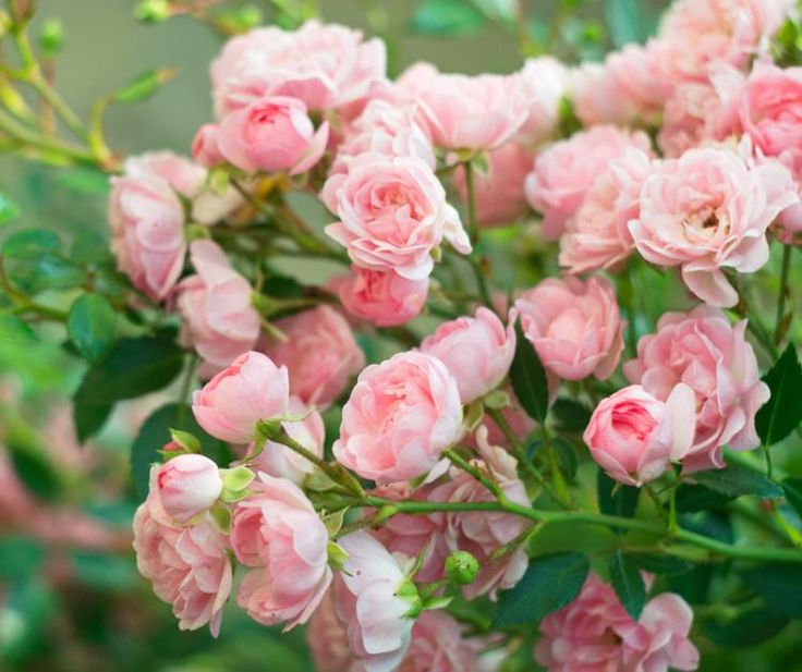Knoblauchsud ist ein perfektes Mittel gegen Pilze und Läusen im Rosenbeet und lässt sich aus frischem Knoblauch selber machen. So geht's.
