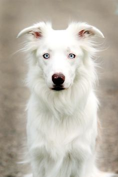 [White Border Collie]   ** We often confuse what we wish for with what is.       --- [Mirror Mask