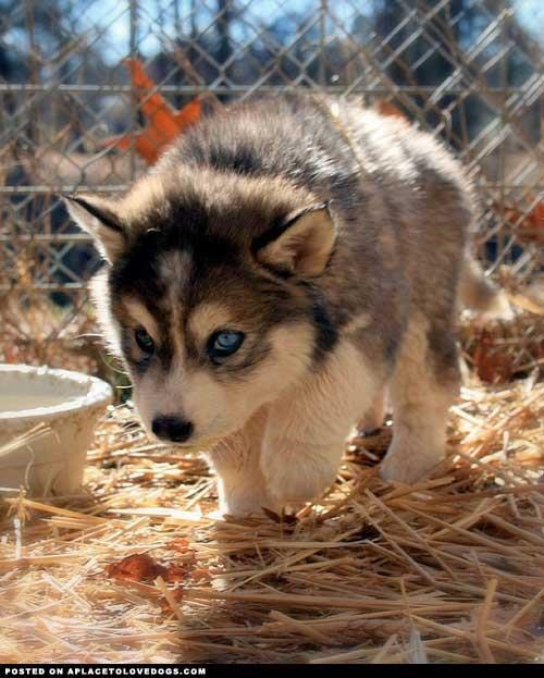 Hunting fur baby: Wolf Puppys, Dogs, Husky Puppys, Siberian Husky, So Cute, Baby Wolves, Baby Husky, Blue Eye, Animal