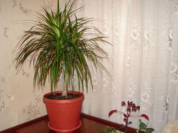 Как пересадить драцену, чтобы не навредить растению