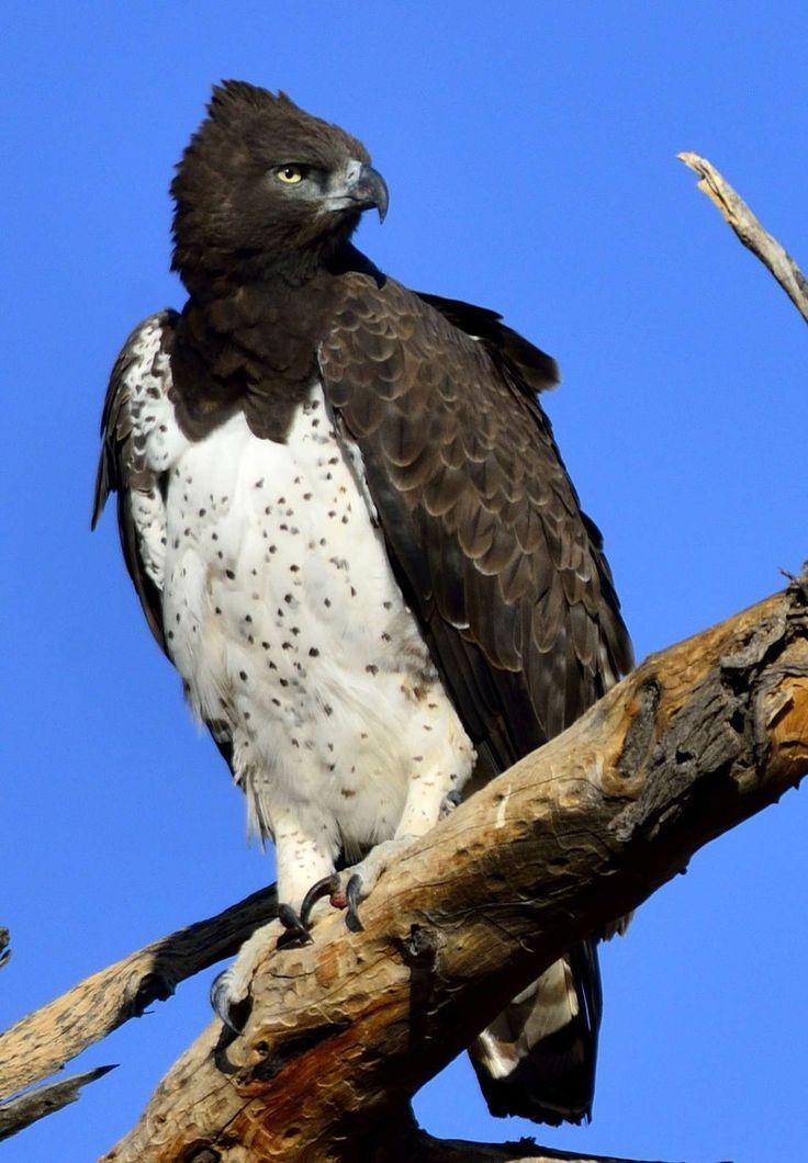 Martial Eagle. Photo by Jacobus De Wet. | African Birds of ...