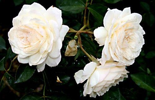 Growing Roses In Arizona, Best Arizona Roses and The Hot Arizona Climate
