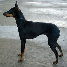 English Toy Terrier (Black & Tan) - England
