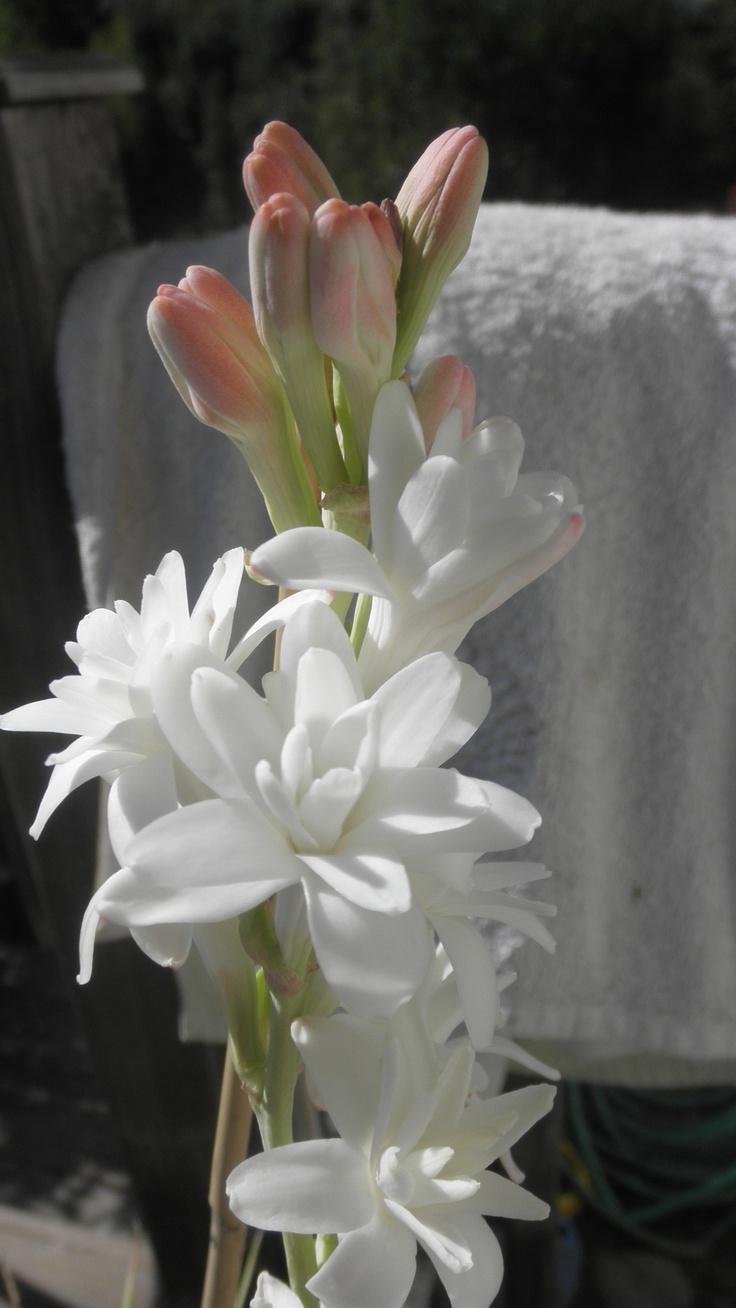 9 Best Tuberose Essential Oil Images On Pinterest Amazing Flowers