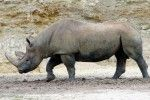 """Africa's Western black rhino is now officially extinct, according to the International Union for the Conservation of Nature (IUCN). The subspecies was last seen in 2006, the Northern white rhino is also """"teetering on the edge of extinction,"""" and Asia's Javan Rhino may not be far behind if strong measures are not taken to stem poaching and conservation measures."""