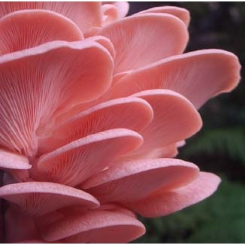 Pink Oyster Mushrooms | flowers on top of flowers | Pinterest
