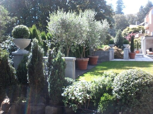 Potted Pendolino Olive Trees At A Garden In Seattle   Courtesy Of  OregonOliveTrees.com