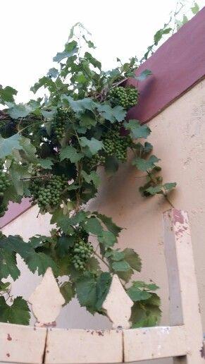 My backyard grapes