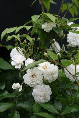 Rosa 'Guirlande d'Amour' / Klimroos is een doorbloeiende en geurende roos met witte halfopen pomponachtige roosjes die in grote trossen bij elkaar staan. Bloeit van juni - oktober. Met de hoofdbloei in de vroege zomer en een nabloei richting het najaar. Hoogte ca. 2 - 3 mtr. De soepele takken laten zich makkelijk leiden en daardoor zeer geschikt voor rozenbogen en pilaren. Bladverliezend in de winter en zeer winterhard. Voor plek in volle zon, in halfschaduw doet deze klimroos het ook nog…