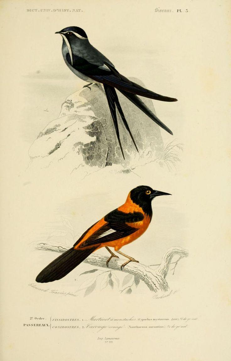 gravures couleur d'oiseaux - Gravure oiseau 0207 martinet a moustaches - cypsclus mystaceus - passereau - Gravures, illustrations, dessins, images