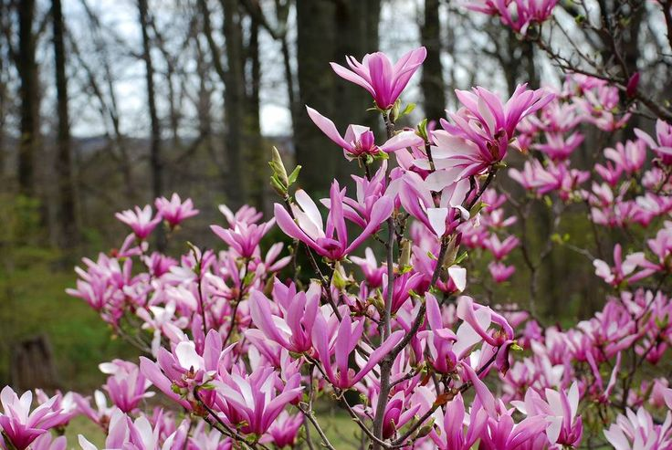 Magnolia Susan: makkelijk te onderhouden magnolia met prachtige donker roze / paarse bloemen.