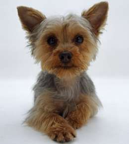 Miniature Yorkshire Terriers... lively and sassy toy dogs that ...