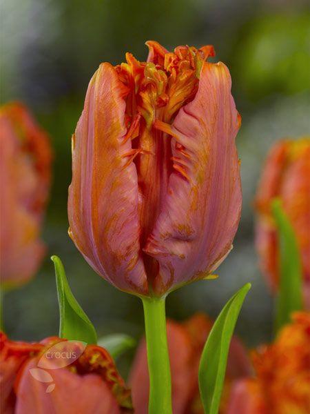 Tulipa 'Ego Parrot'