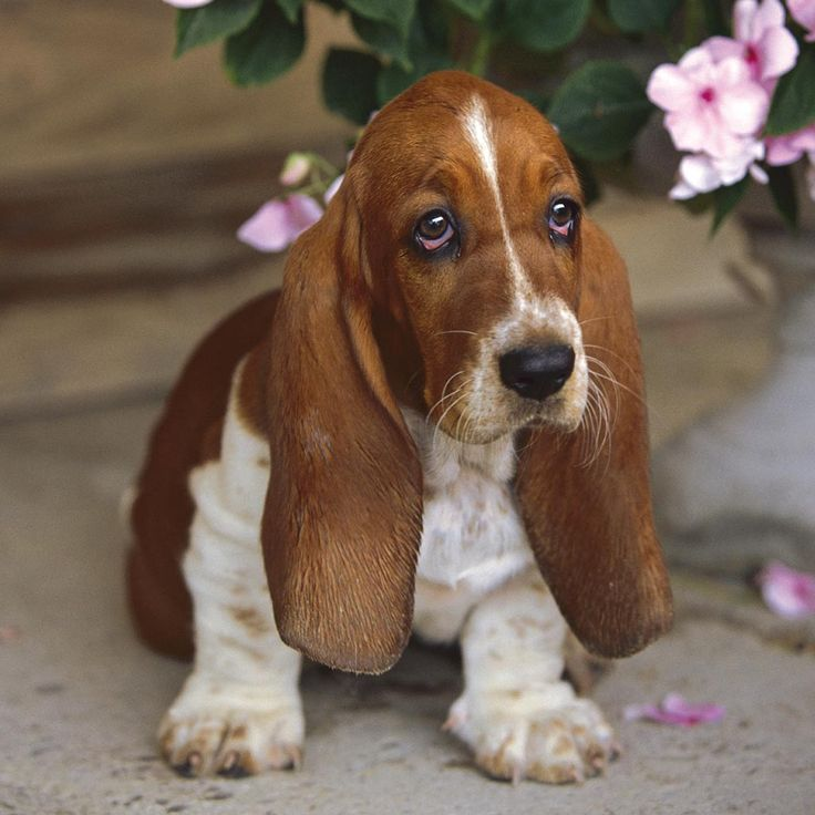Miniature Basset Hound | Cachorro de Basset-Hound | Puzzle adultos | Puzzle | Productos | ES ...