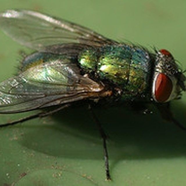 Repel House Flies