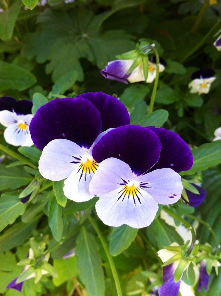 violetas © Xw