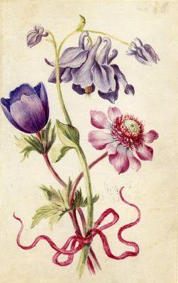 Alexander Marshall's botanical illustrations