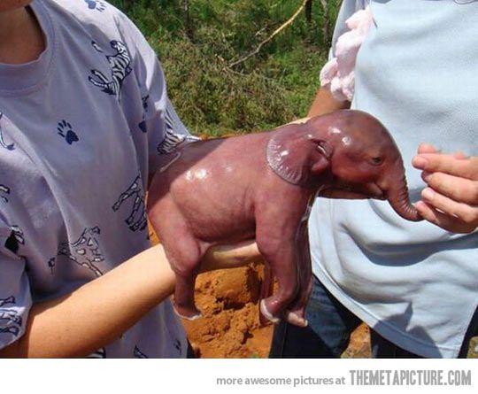 Newborn elephant, 1 minute alive…