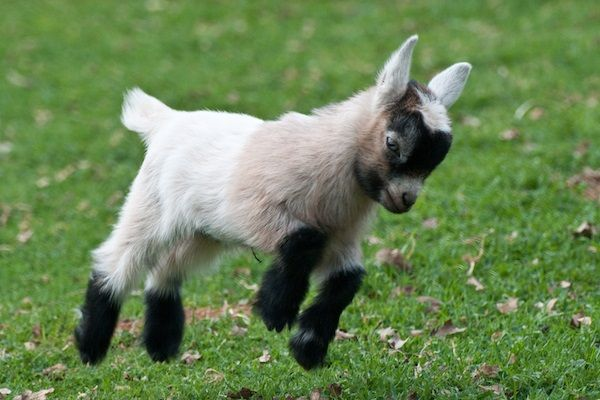 I want a pygmy goat!