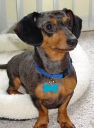 Gobert is an #adoptable Dachshund Dog in #Chester, #MARYLAND.   Entered 4/1/2013 Gobert is an 8.5 year old miniature dachshund (smooth coat, dappled). His birthday is August 22, 2004. He is fully house tra...Please click on pic for additional info on this dog