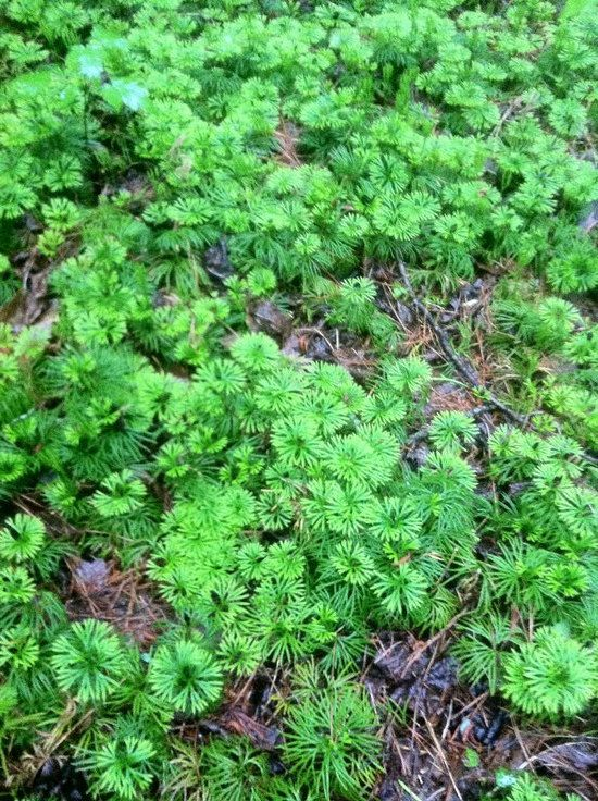 10ft ground cedar evergreen ground cover stays green beautiful in the snow