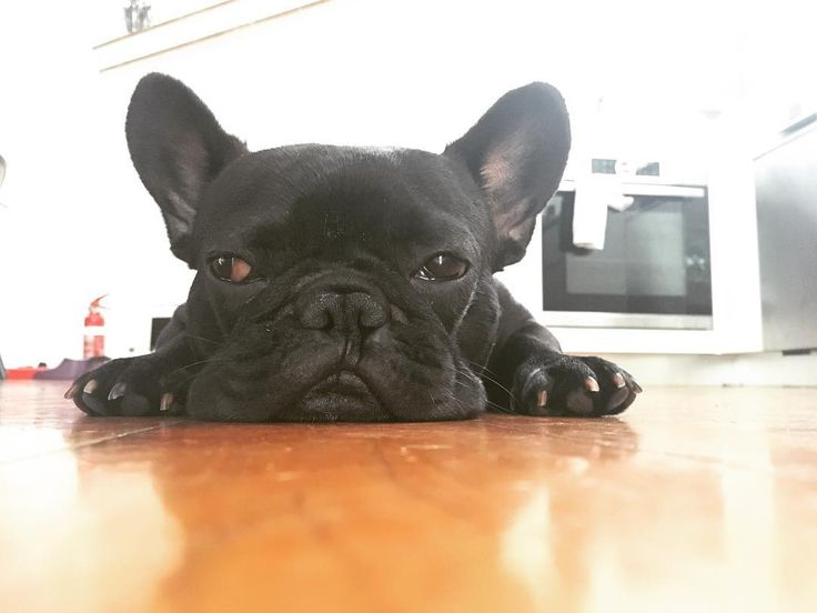 When you get that feeling you might be stuck to the floor ! #stuck #frenchie #frenchieoftheday #französischebulldogge #franskbulldog #frenchbull #fransebulldog #frenchbulldog #frenchiepuppy #dog #dogsofinstagram #petstagram #bondi #puppylove #fitchicks #bulldog #bullyinstafeature #bulldogfrances #フレンチブルドッグ #フレンチブルドッグ #フレブル #ワンコ #frenchyfanatics #frenchiesgram #frenchbulldogsofinstagram #frenchiesoverload #ilovemyfrenchie #batpig #buhi #squishyfacecrewbulldog