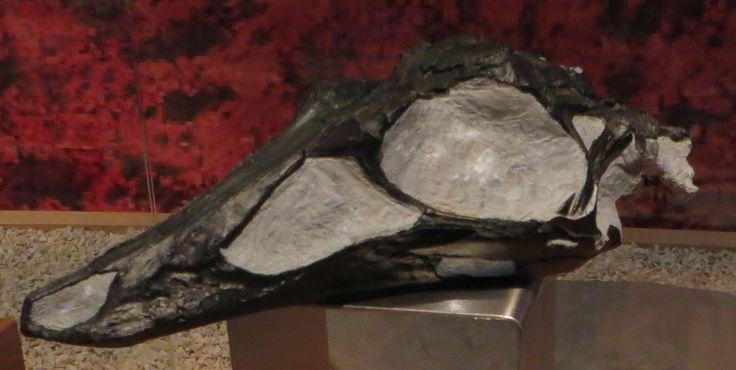 Struthiomimus_sp_skull.JPG (2051×1033) - Museon, Den Haag. Dinosauria, Saurischia, Theropoda, Coelurosauria, Ornithomimosauria, Ornithomimidae. Auteur : Ghedo, 2015.