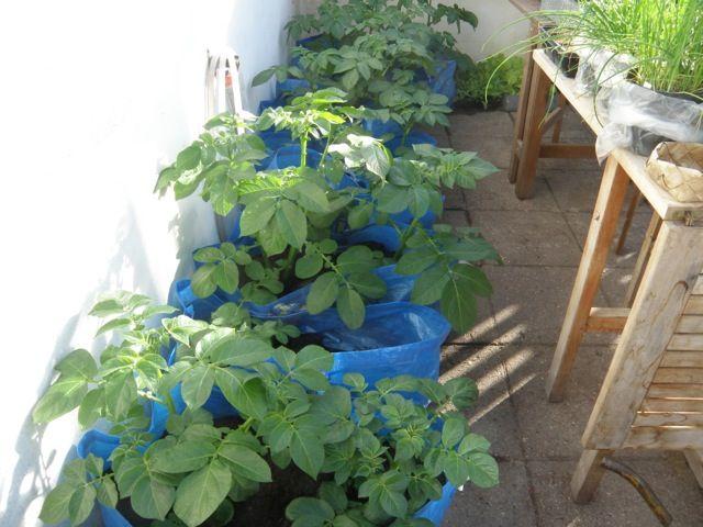 17 meilleures id es propos de cultiver des pommes de terre sur pinterest planter un jardin. Black Bedroom Furniture Sets. Home Design Ideas