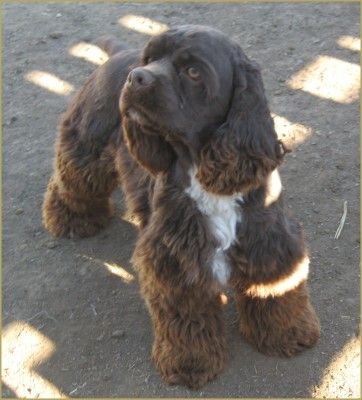 Chocolate American Cocker Spaniel - Cowboy Up's Thief of Hearts | Cowboy Up Kennel