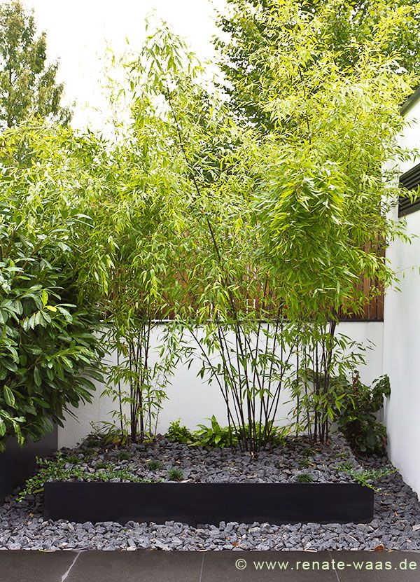 8 best Bamboo plant hedge ideas images on Pinterest Bamboo hedge - moderne garten mit bambus