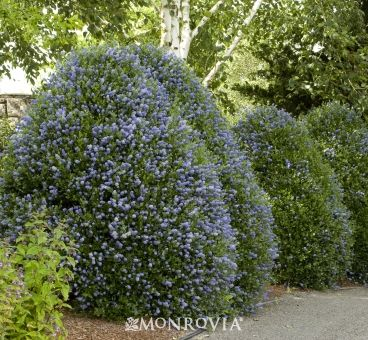 Beautiful evergreen shrub for coastal gardens. Dark cobalt blue buds appear in late spring, covering the dense, dark green foliage with deep blue flowers. Vigorous, upright grower makes a terrific tall hedge, screen or windbreak. 9' tall 10-12' wide