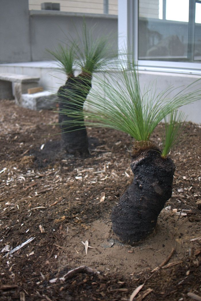 How to Plant a Grass Tree