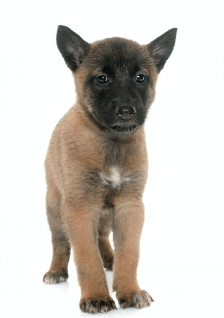 Belgian Malinois Puppies for Sale California Breeders