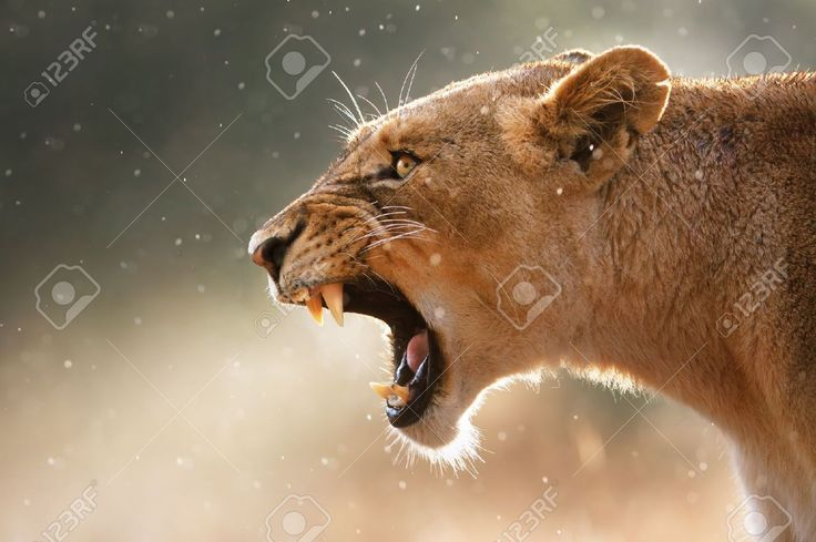 Lioness Stock Photos, Pictures, Royalty Free Lioness Images And ...