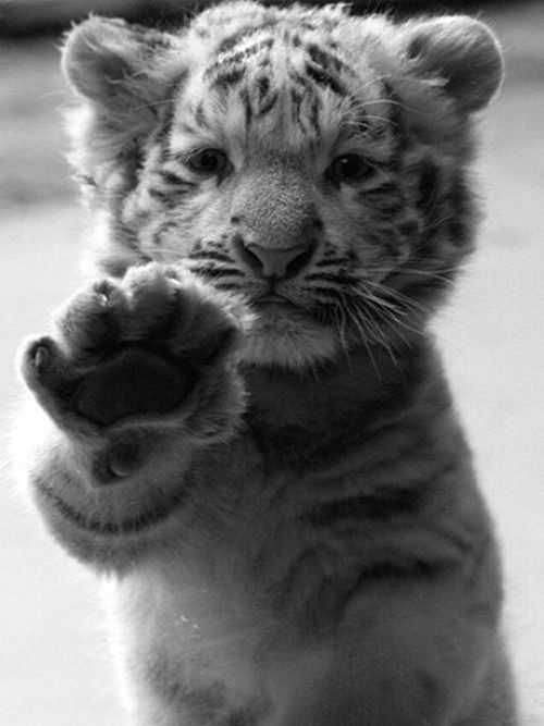 SUPER cute! @Alisha Sopota MaissenBig Cat, White Tigers, High Five, Pets, Tiger Cubs, Baby Animal, Whitetigers, Tigers Cubs, Baby Tigers