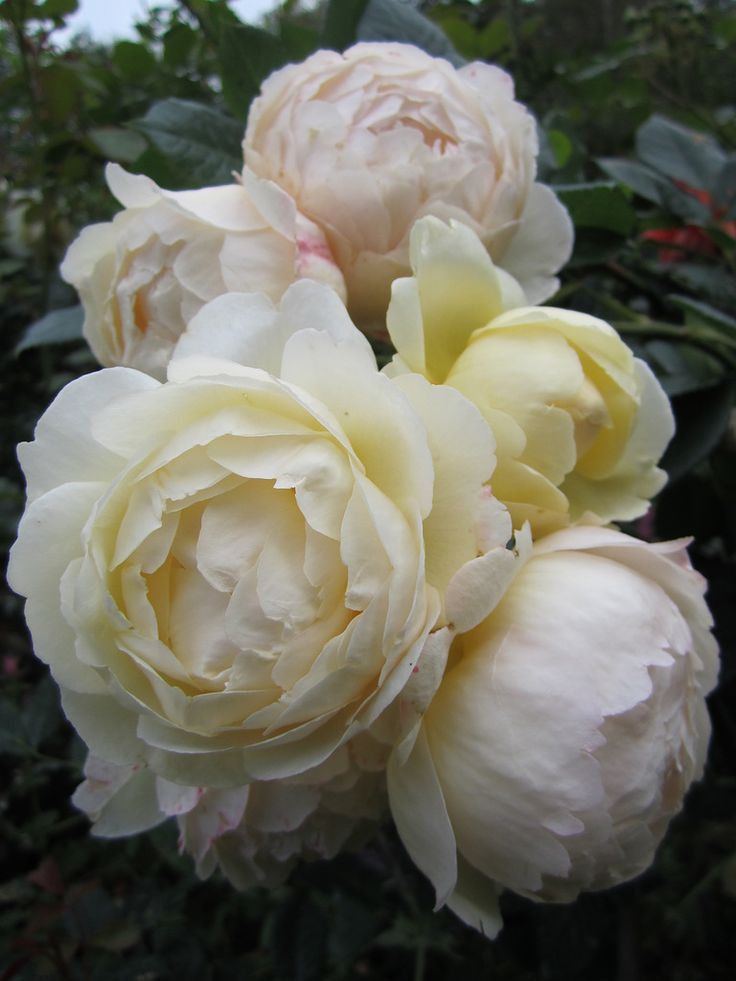 rose 'Wollerton Old Hall'  truly a subtle pink with a subtle yellow?