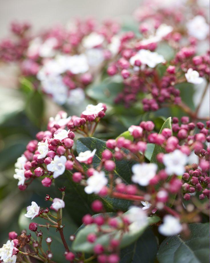Unsere Pflanze der Woche: Schneeball (Viburnum) • Blumen & Pflanzen Blog • 99Roots.com