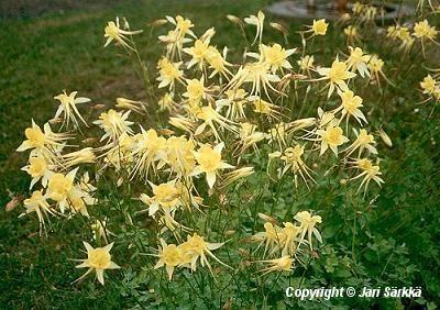 KULTA-AKILEIJA -  GULDAKLEJA Aquilegia chrysantha 'Yellow Queen'.  Kukinnon väri: keltainen. Kukinta-aika: kesä-heinäkuu. Valovaatimus: aurinkoinen. Korkeus: 80 cm Kestävyys: melko kestävä. Lisätietoja: myrkyllinen. Särkän taimistolta.