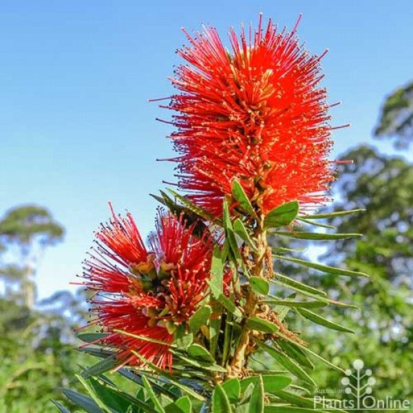 Callistemon 'Little Caroline' bird-attracting red-flowered Australian Native bottlebrush, plant as a low hedge or clip for borders #australian