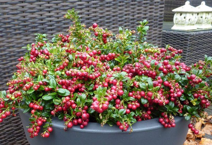 Vaccinium vitis-idaea 'Red Candy' (Vossenbes) - zon/hs 30cm mei-juni wit