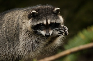 A raccoon observed while visiting NW Trek with Alderleaf Wilderness College.
