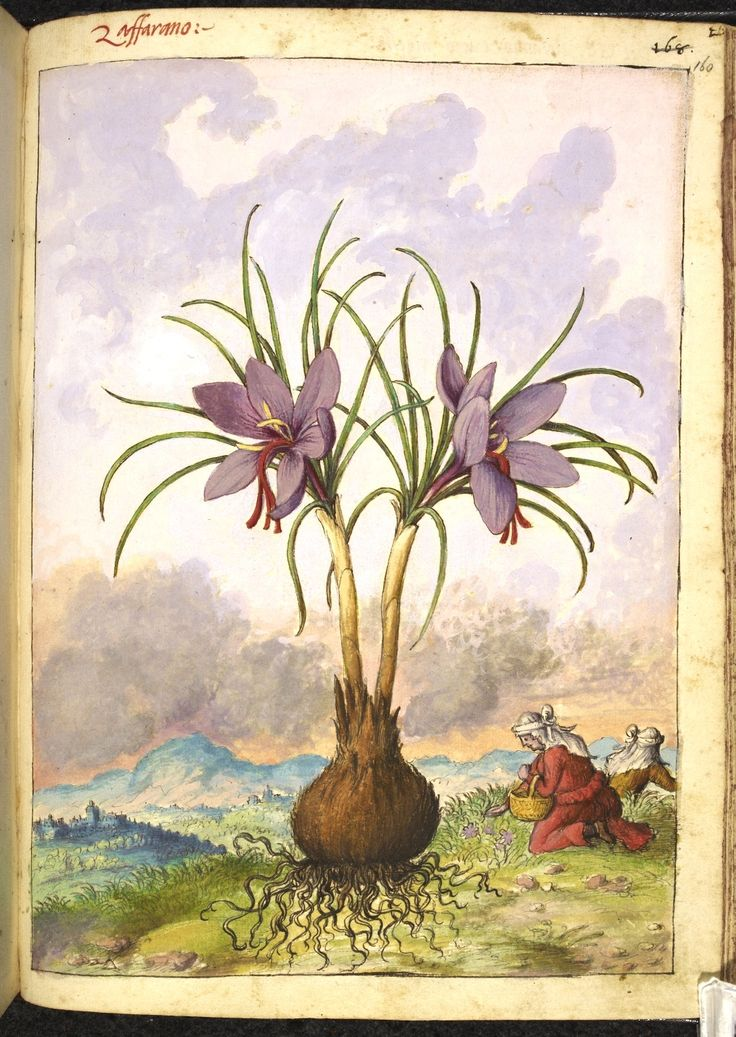 Full page botanical painting of Crocus sativus, labelled 'Zaffarano' (Saffron) with two womenin white veils gathering flowers on a mountain top.   Dioscorides' 'De re medica', by Pietro Andrea Mattioli, Physician of Siena, assembled and illustrated by Gherardo Cibo—ca. 1564-1584.