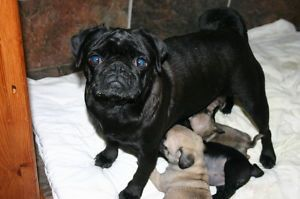 PUG PUPPIES FOR SALE; KUSA REGISTERED PARENTSimage2
