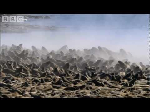 A desperate Polar Bear hunting Walruses, from the Frozen Planet series.