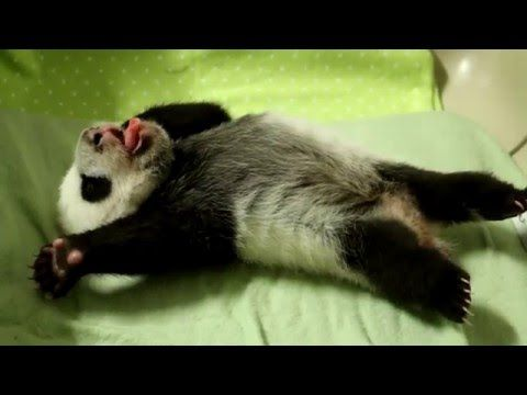 ~BEST 1 minute cutefest I've seen in ages! Toronto Zoo Giant Panda Cub at 8 Weeks Old - YouTube