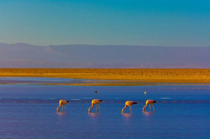 Flamingos, Atacama Salt Flat (Salar de Atacama), Chaxa Lagoon, Los Flamencos National Reserve, Soncor Sector, Atacama Desert, Chile