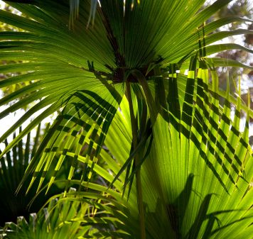 Saw Palmetto takes time to be effective. It is suggested for use over a 6 week period, taking notes of any improvements over that time. If improvements are noted, it may be continued on for best results.