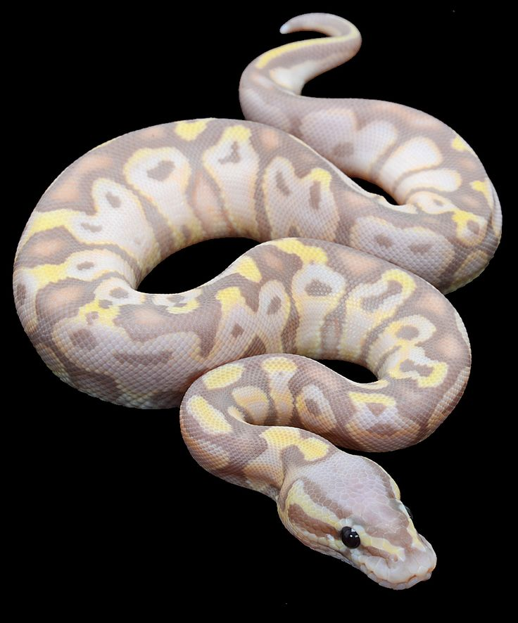 Banana Super Pastel Ball Python I love ball pythons I wish they were legal here