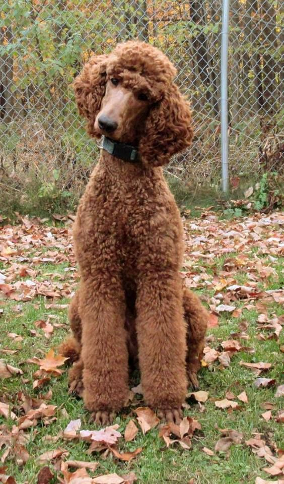"""Clifford has the head tilt and Ninja Poodle down to a fine art!"" (Arreau Standard Poodles)"